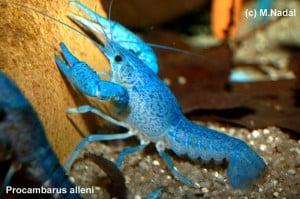 Procambarus alleni - Blauer Floridakrebs 2