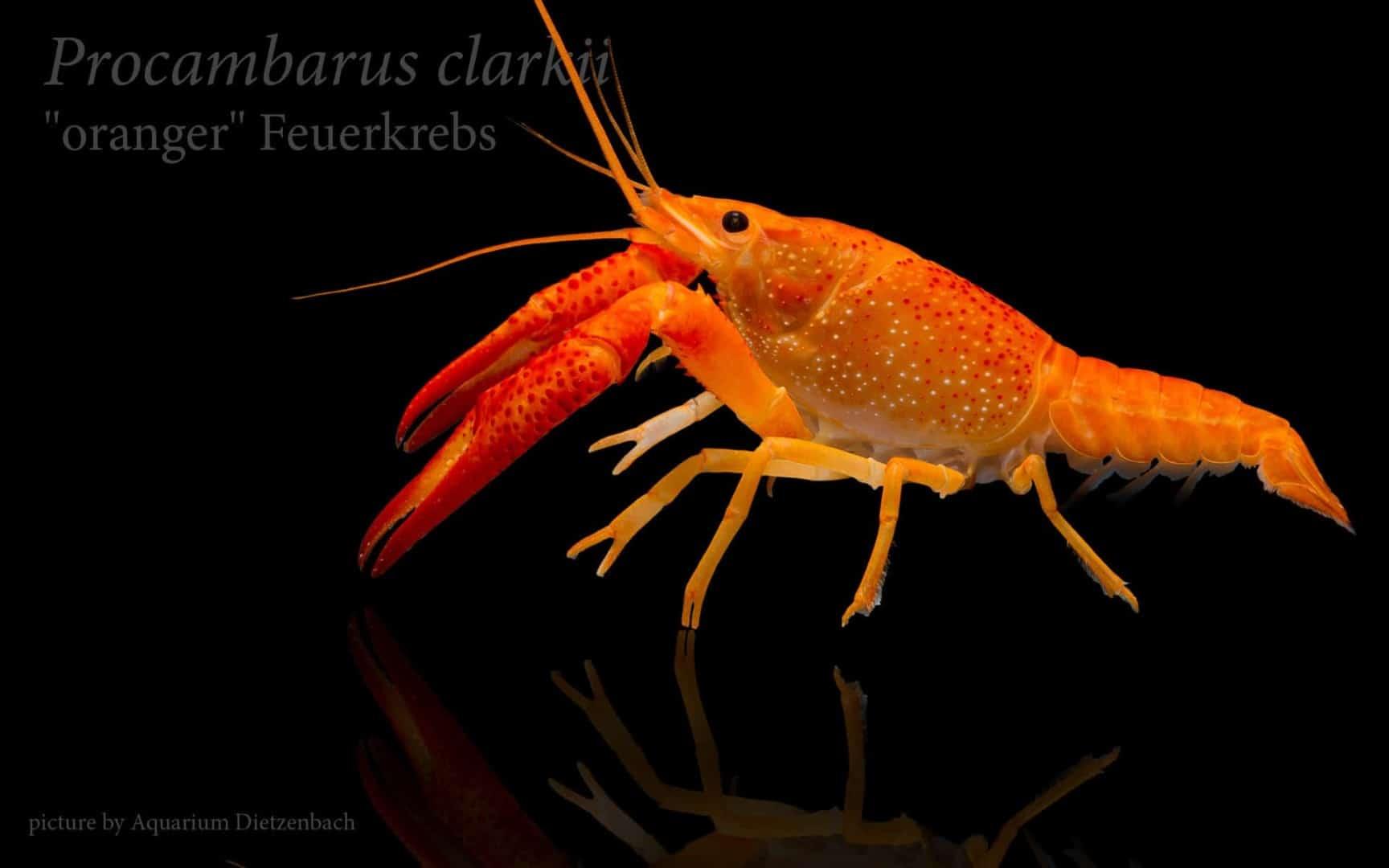 Procambarus clarkii - Orangefarbener amerikanischer Sumpfkrebs 1