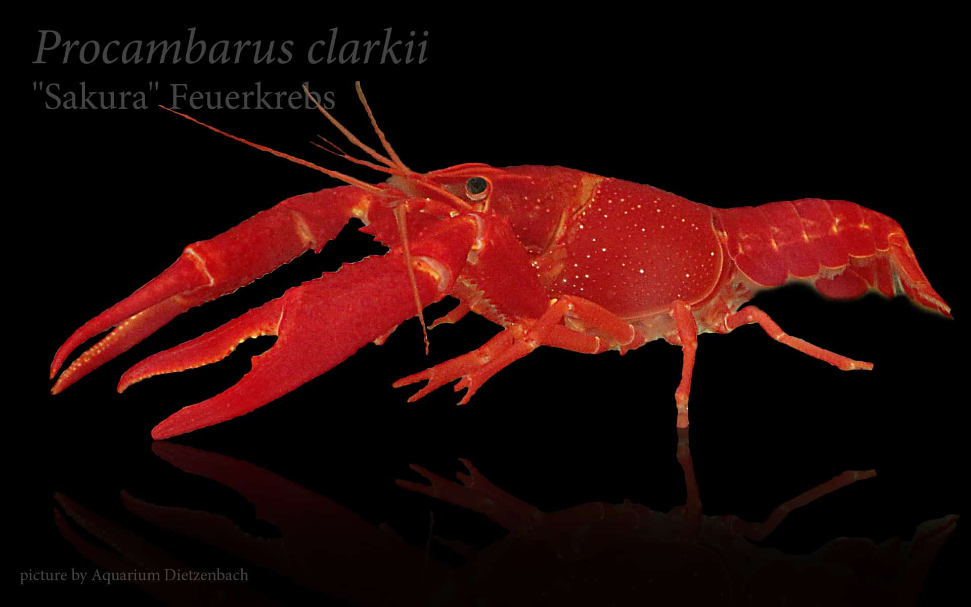Procambarus clarkii - Roter Flusskrebs 9