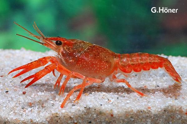 Procambarus clarkii - Roter Flusskrebs 1
