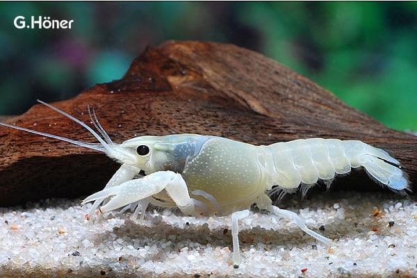 Procambarus clarkii - Weißer Flusskrebs 1