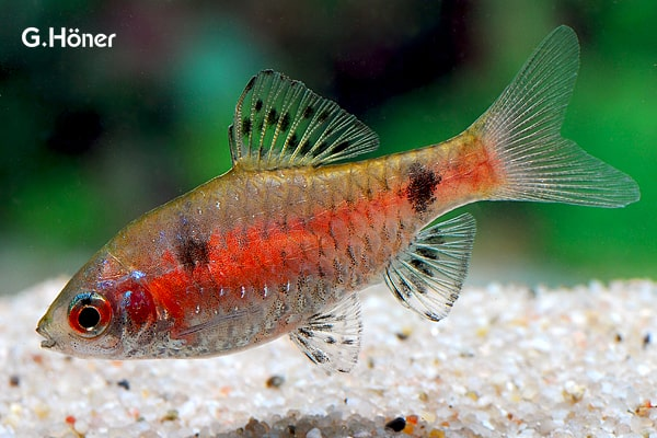 Interessante Aquarienbewohner - Barben 5