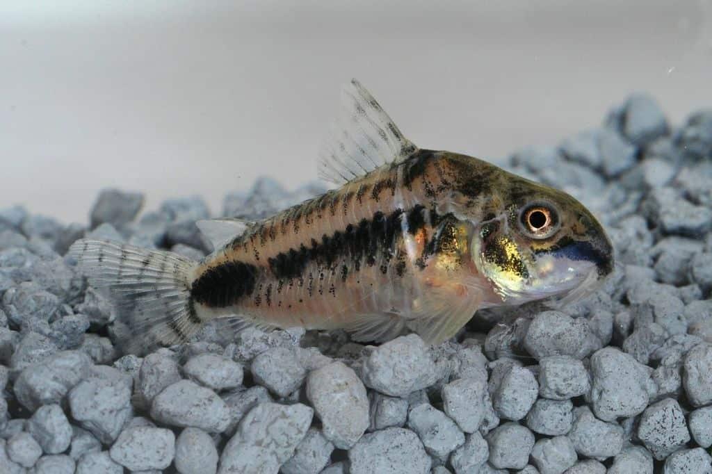 Corydoras habrosus - Zwergpanzerwels 3
