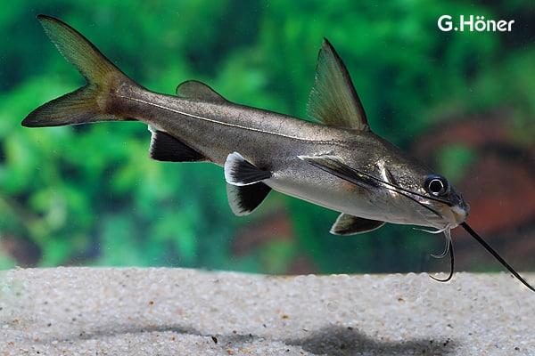 Ariopsis seemanni - Silberwels / Minihai 1