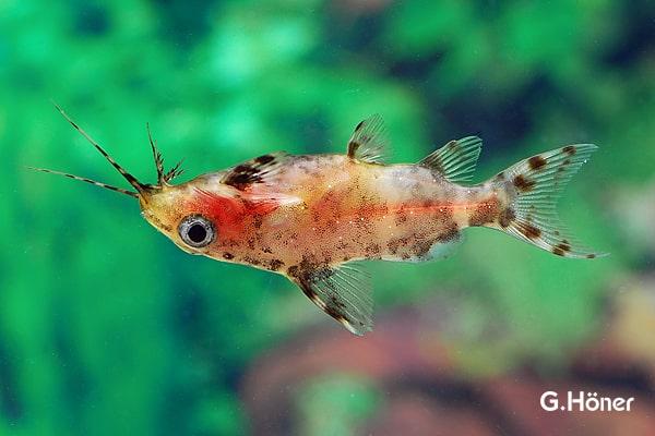 Synodontis nigriventris - Rückenschwimmender Kongowels 1