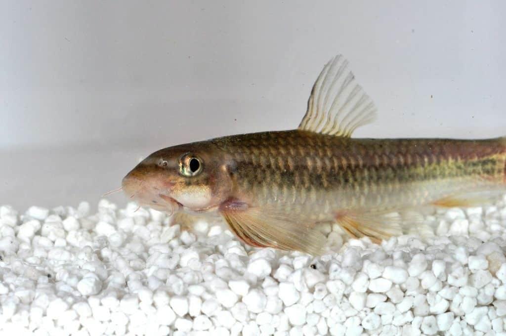 Garra ceylonensis - Ceylon-Saugbarbe 2
