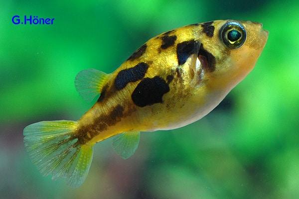 Carinotetraodon travancoricus - Zwergkugelfisch 1