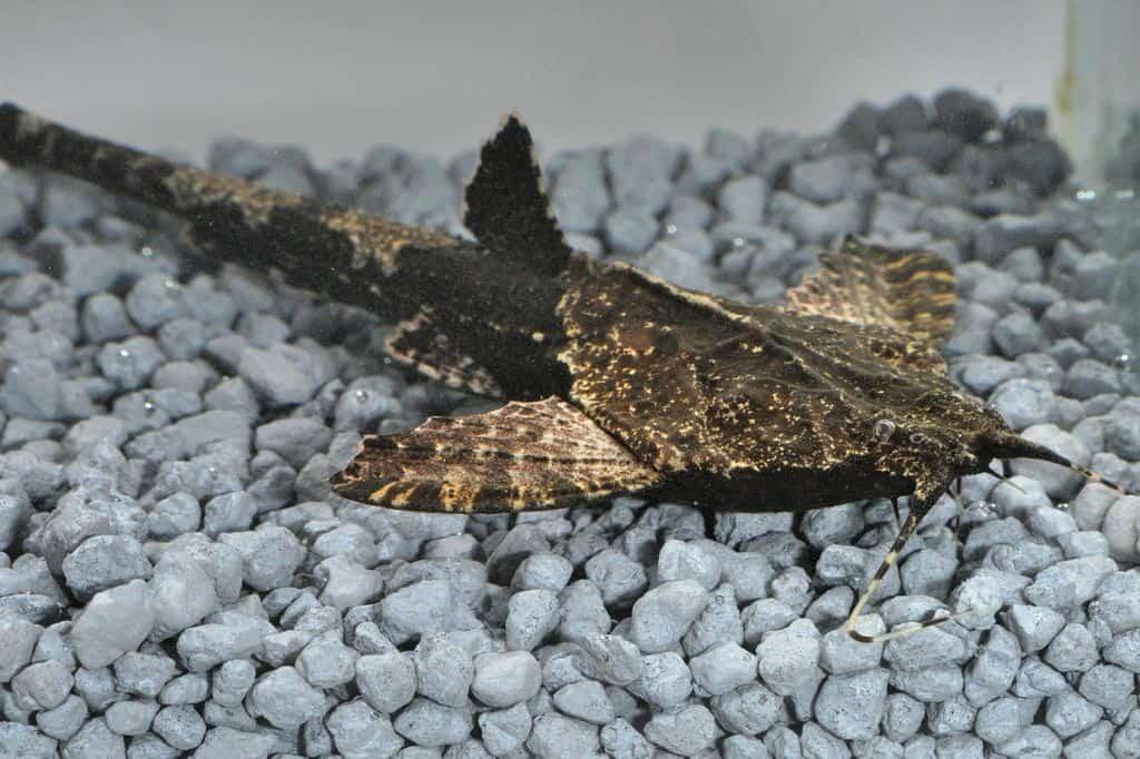 Bunocephalus coracoideus - Bratpfannenwels 2