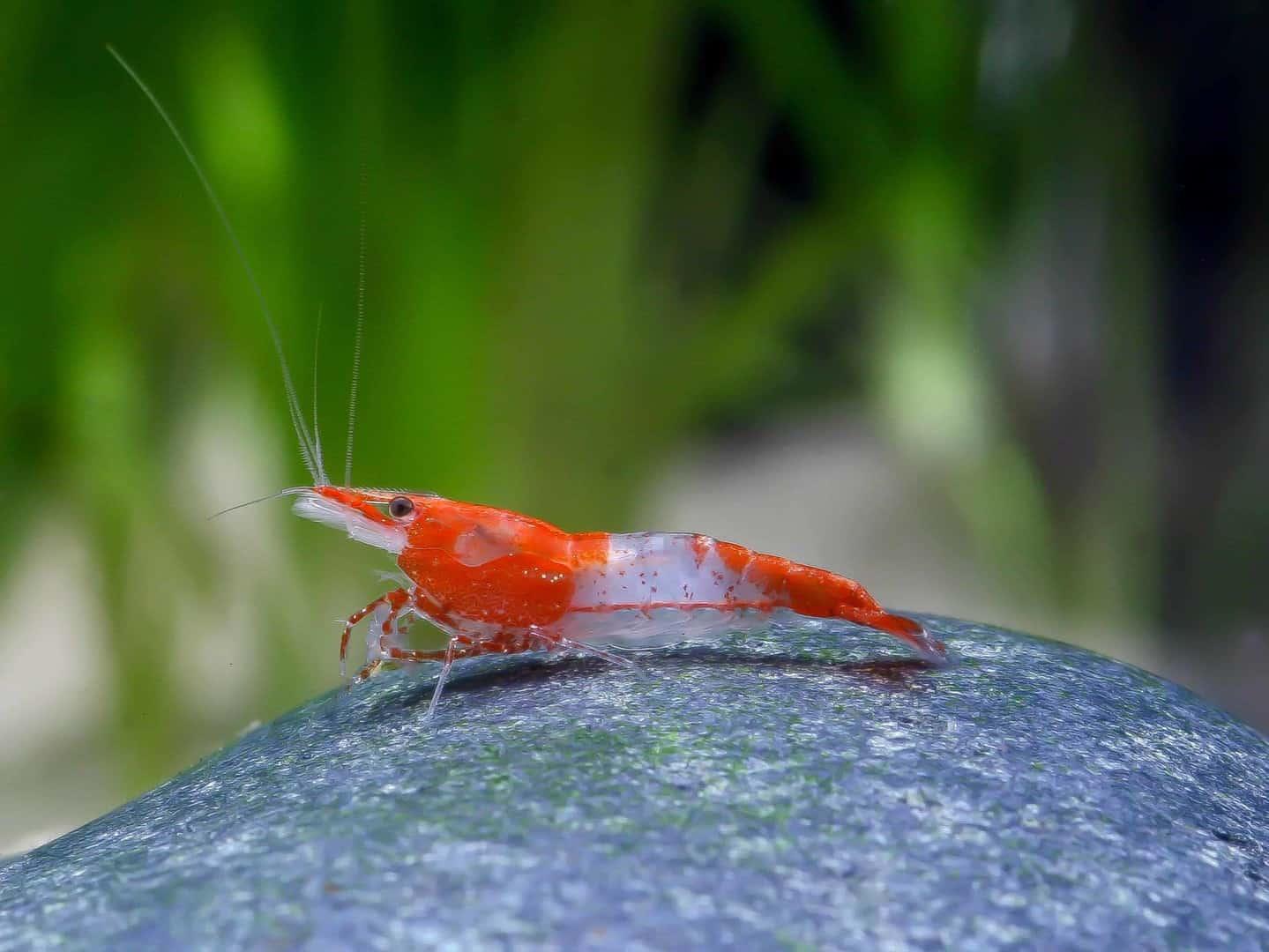 Neocaridina davidi (heteropoda) - Red Rili 2