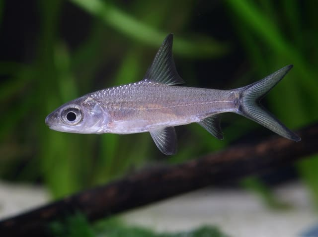 Balantiocheilus melanopterus - Haibarbe 1
