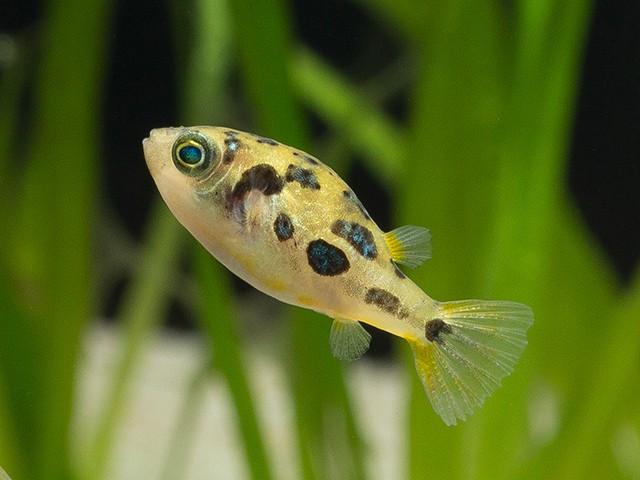 Die Vermehrung von Leopard-Zwergkugelfischen gilt als die Königsdisziplin der Nachzucht. WZF/H.Nigl, Aquarium Dietzenbach