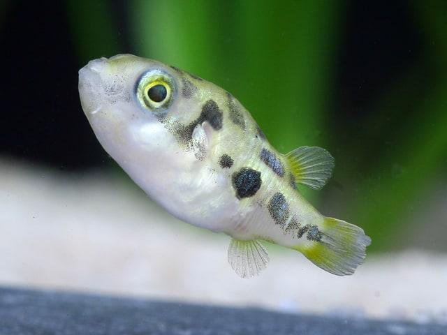 Carinotetraodon travancoricus - Zwergkugelfisch 2