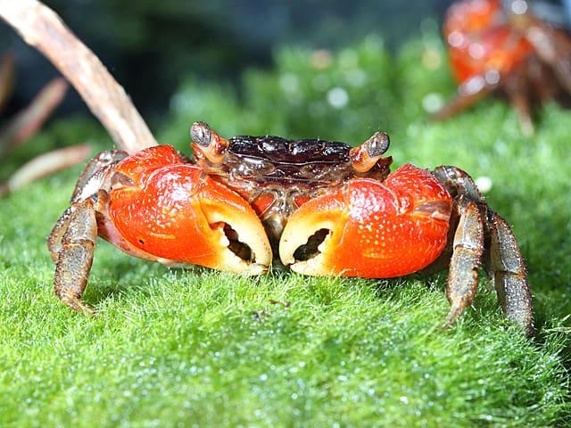 Pseudosesarma moeshi - Rote Mangrovenkrabbe 3