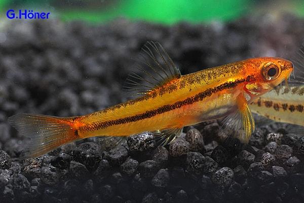 """Yunnanilus sp. """"Rosy"""" - Zwergschmerle 1"""