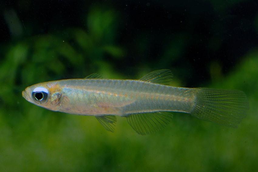 Aplocheilichthys normani - Normans Leuchtaugenfisch 2