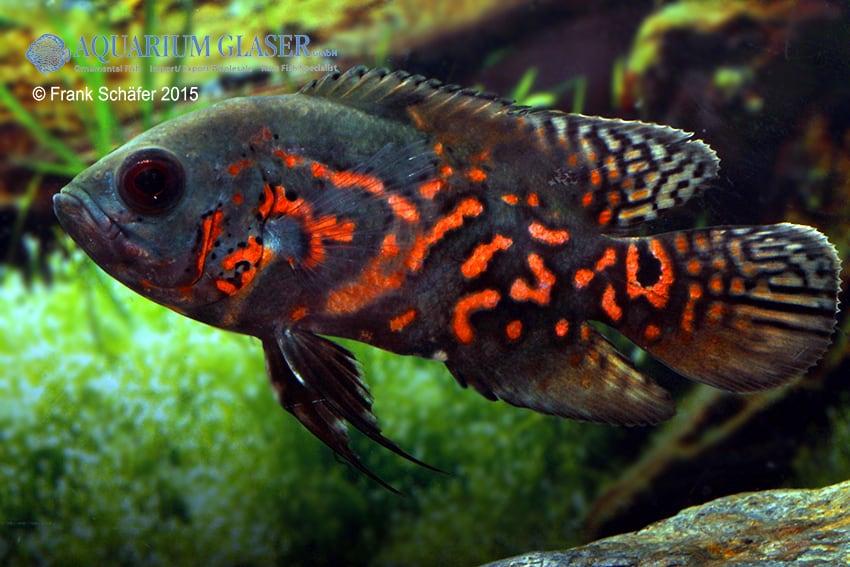 Astronotus ocellatus pfauenaugenbuntbarsch my fish for Zierfische barsch