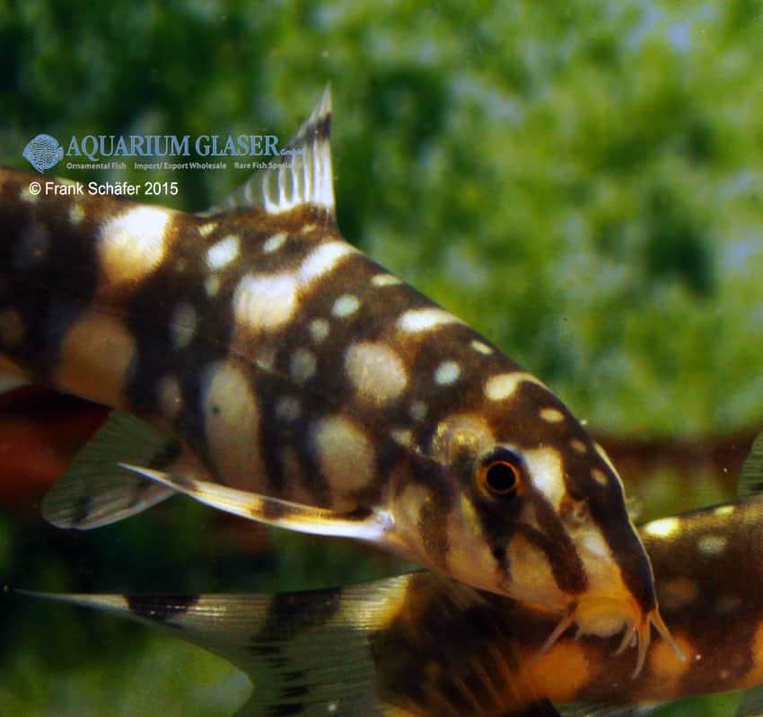 Botia kubotai - Sternchenschmerle 10