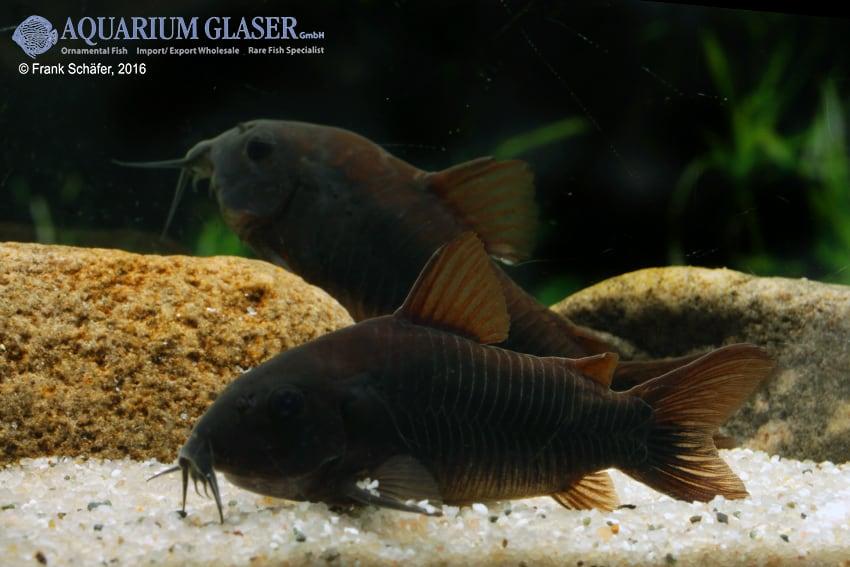 Corydoras aeneus - Metallpanzerwels 19