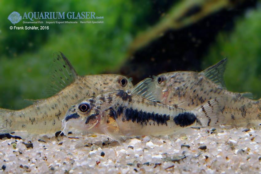 Corydoras habrosus - Zwergpanzerwels 5