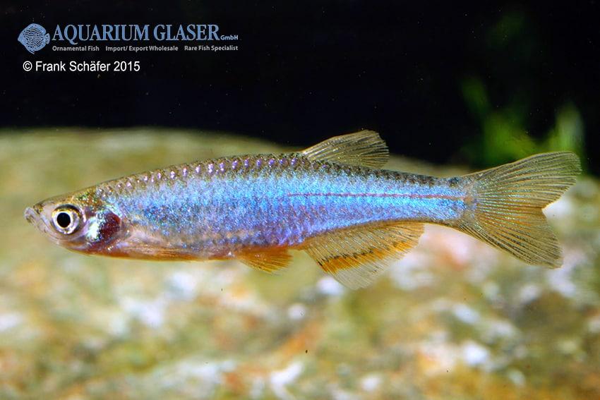 Danio albolineatus - Schillerbärbling 3