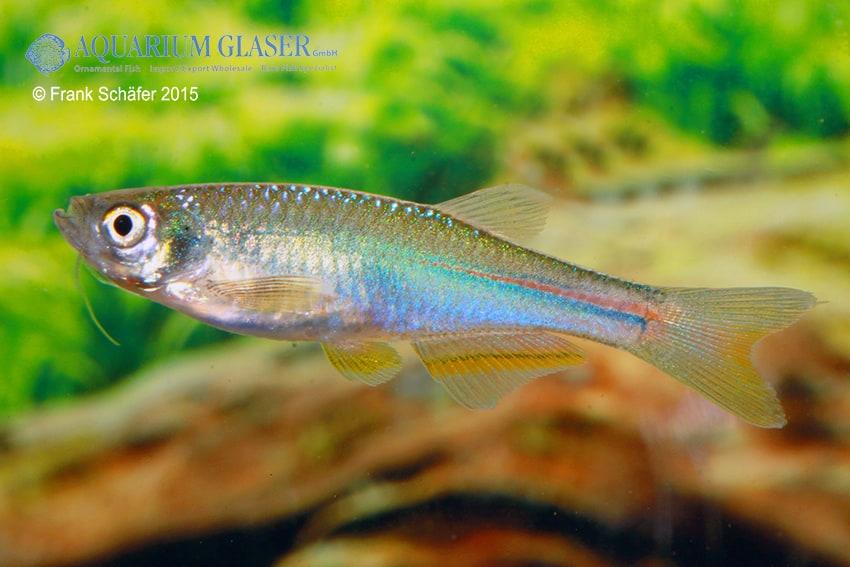 Danio albolineatus - Schillerbärbling 4