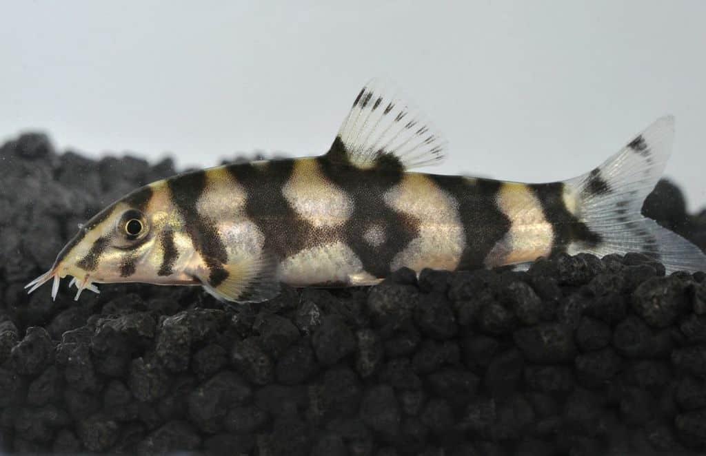Botia rostrata leiterschmerle my fish for Robuste zierfische