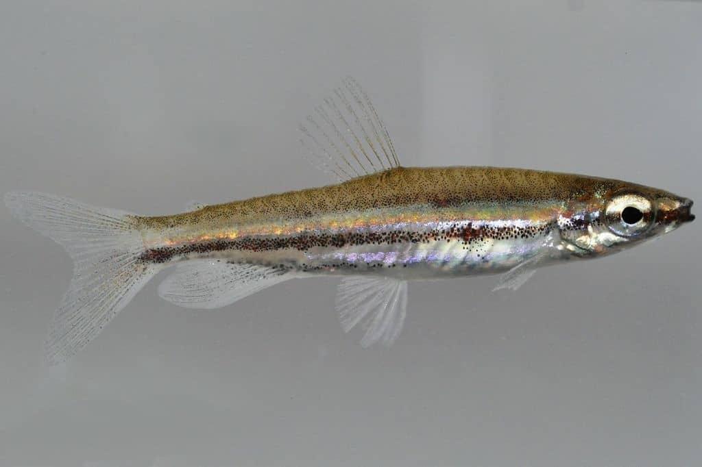 Nannostomus trifasciatus - Dreibindenziersalmler 5