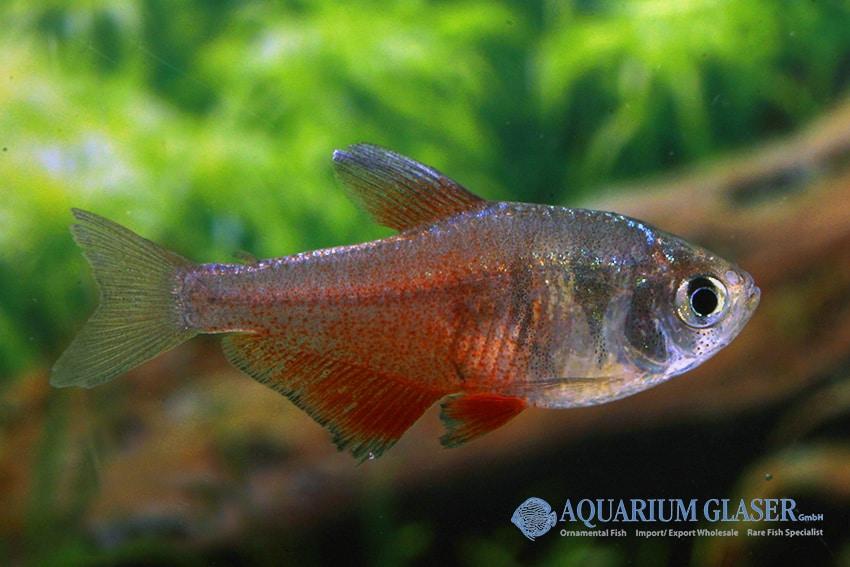 Hyphessobrycon flammeus - Roter von Rio 9