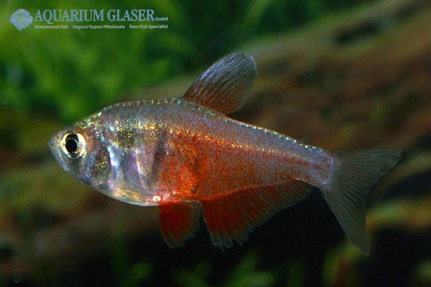 Hyphessobrycon flammeus - Roter von Rio 8