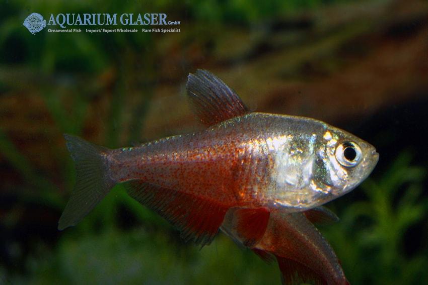 Hyphessobrycon flammeus - Roter von Rio 7