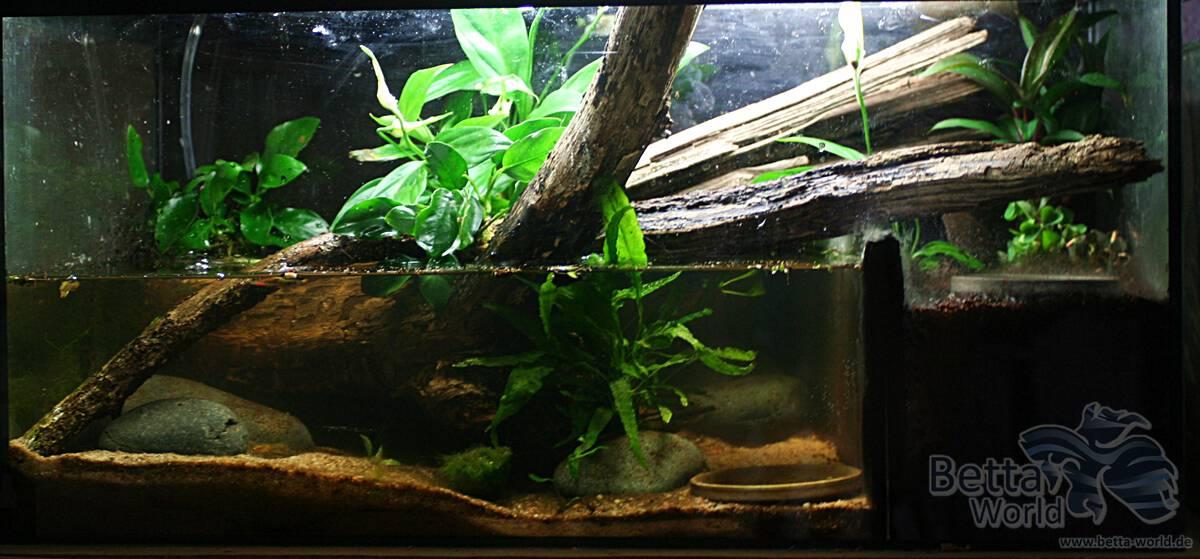 Pseudosesarma moeshi - Rote Mangrovenkrabbe 10