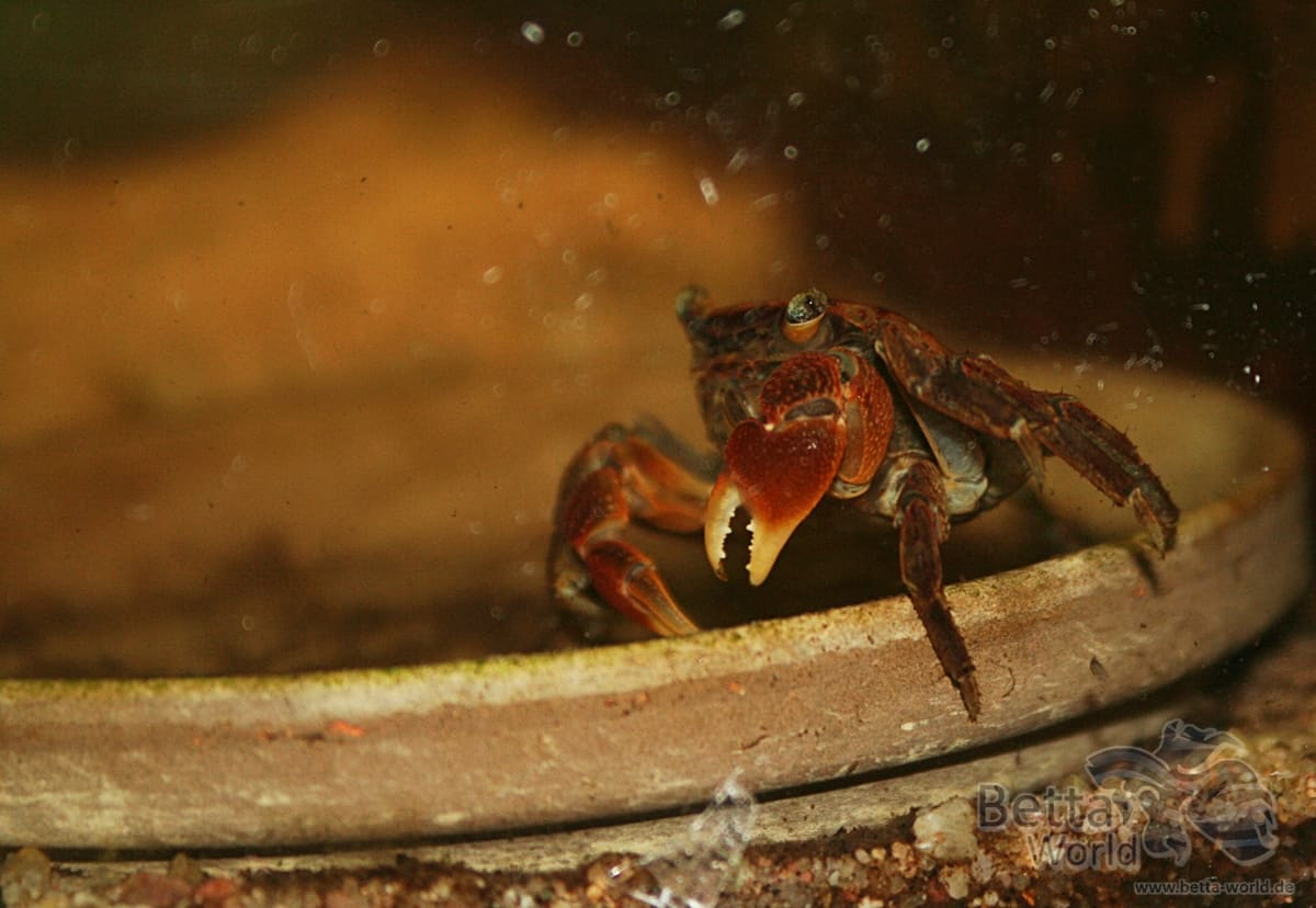 Pseudosesarma moeshi - Rote Mangrovenkrabbe 13