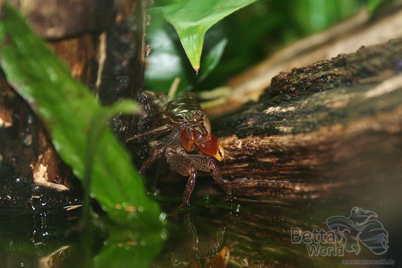 Pseudosesarma moeshi - Rote Mangrovenkrabbe 8
