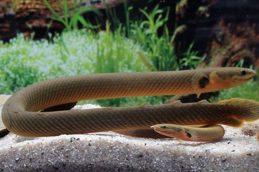 Erpetoichthys calabaricus - Flösselaal 2