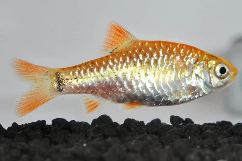 Barbodes semifasciolatus - Messing- / Brokatbarbe 2