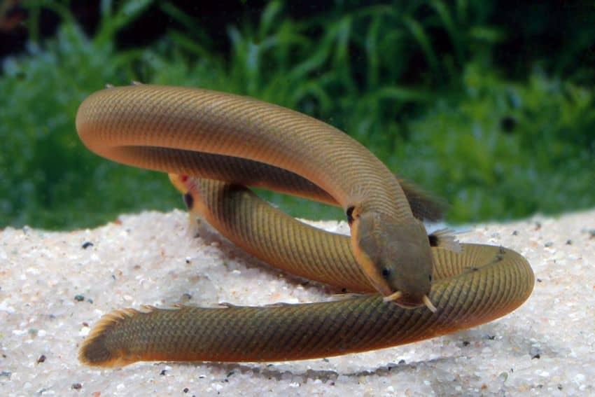 Erpetoichthys calabaricus - Flösselaal 3