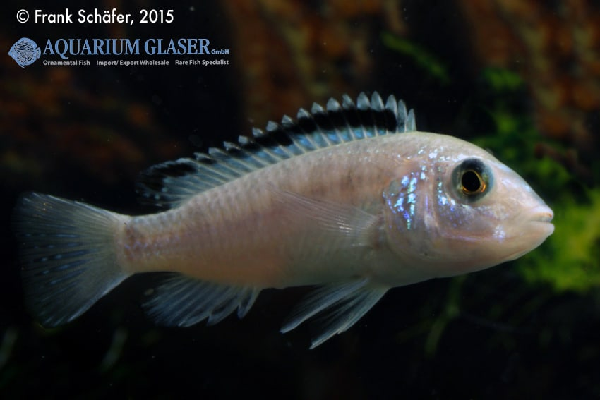 Labidochromis caeruleus - Labidochromis yellow 2