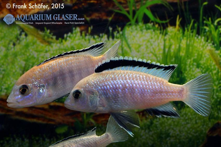Labidochromis caeruleus - Labidochromis yellow 3