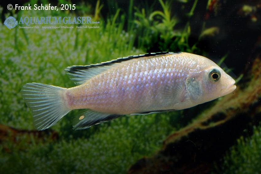 Labidochromis caeruleus - Labidochromis yellow 4