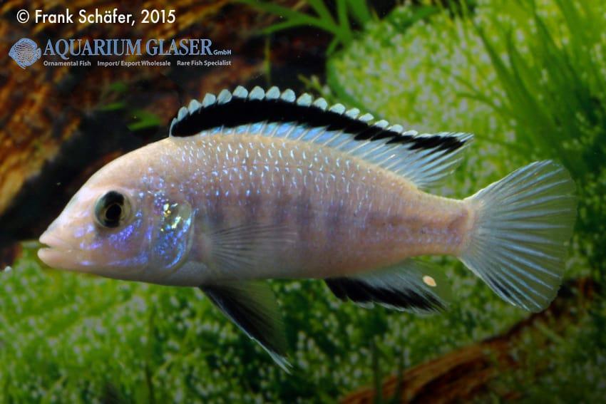 Labidochromis caeruleus - Labidochromis yellow 5