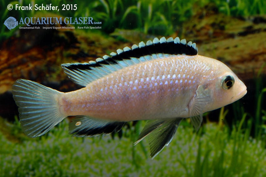 Labidochromis caeruleus - Labidochromis yellow 6