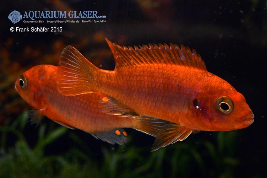 """Labidochromis sp. hongi - Labidochromis """"hongi red top"""" 2"""