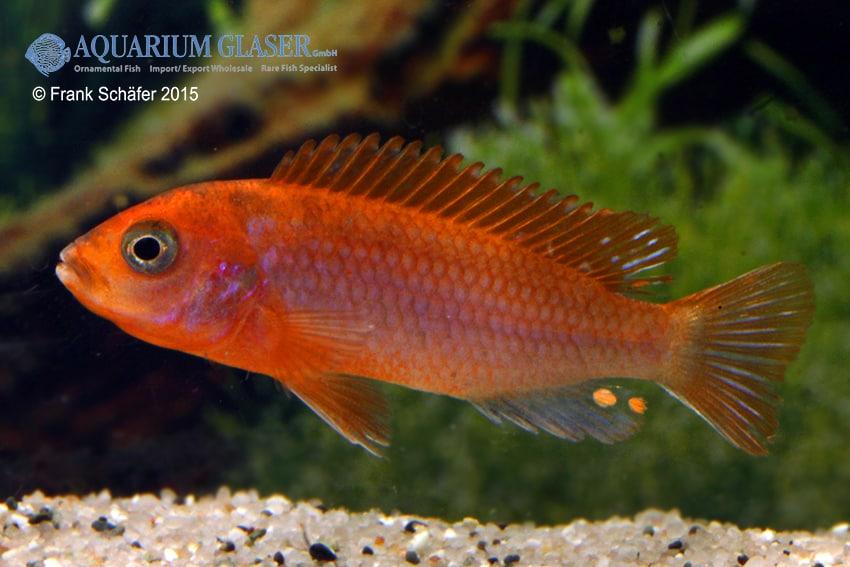 """Labidochromis sp. hongi - Labidochromis """"hongi red top"""" 3"""