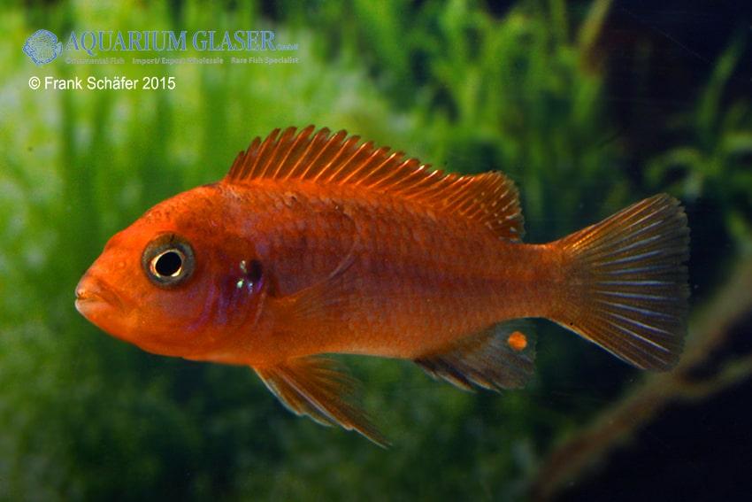 """Labidochromis sp. hongi - Labidochromis """"hongi red top"""" 4"""