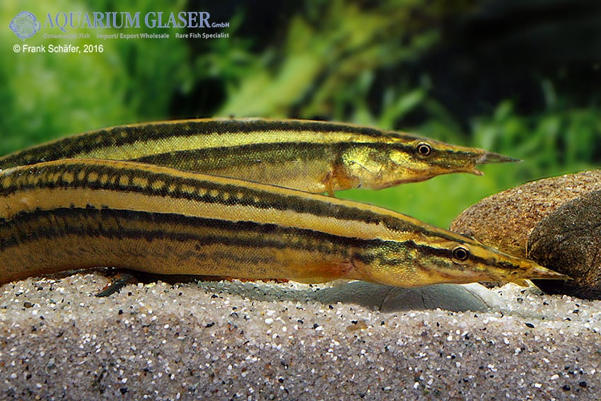 Macrognathus aculeatus - Augenfleck-Stachelaal 3