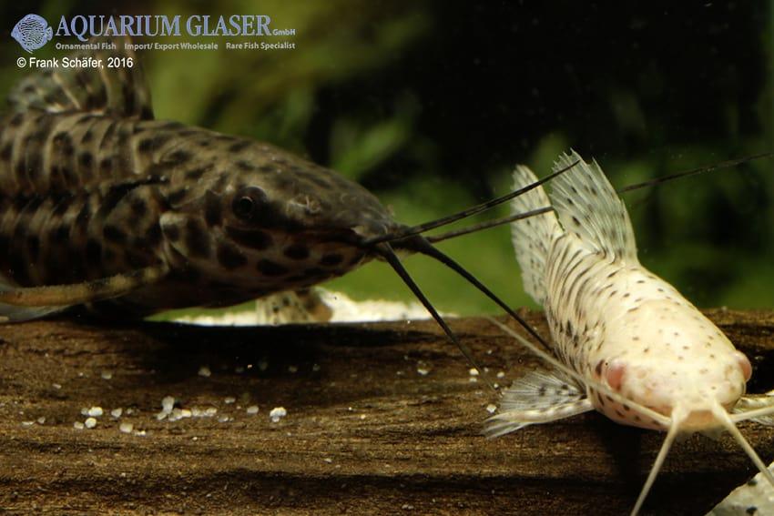 Megalechis thoracata - Gemalter Schwielenwels - albino 5