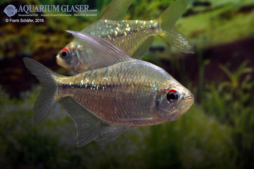 Moenkhausia pittieri - Brillantsalmler 6