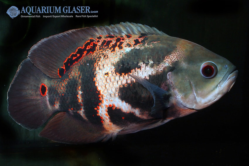 Astronotus ocellatus - Pfauenaugenbuntbarsch 6