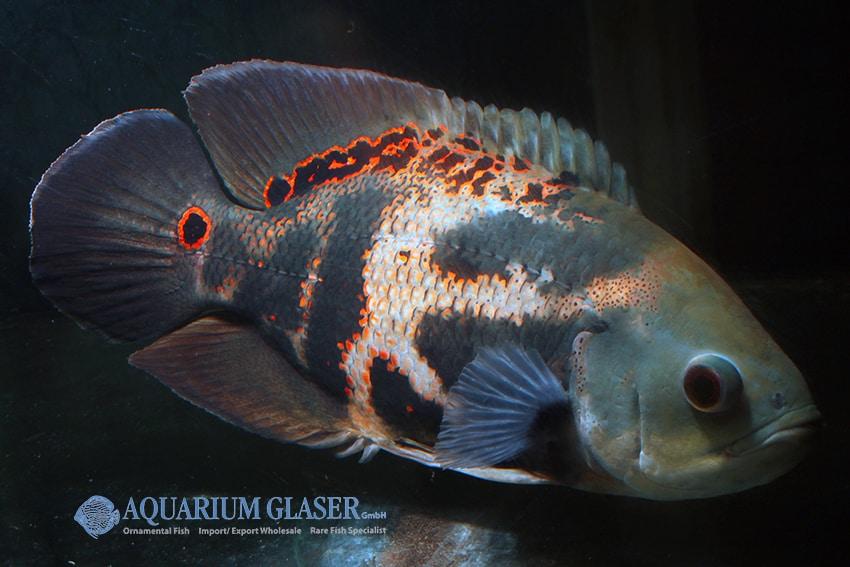 Astronotus ocellatus - Pfauenaugenbuntbarsch 7