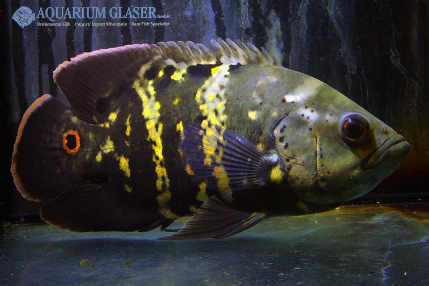 Astronotus ocellatus - Pfauenaugenbuntbarsch 8